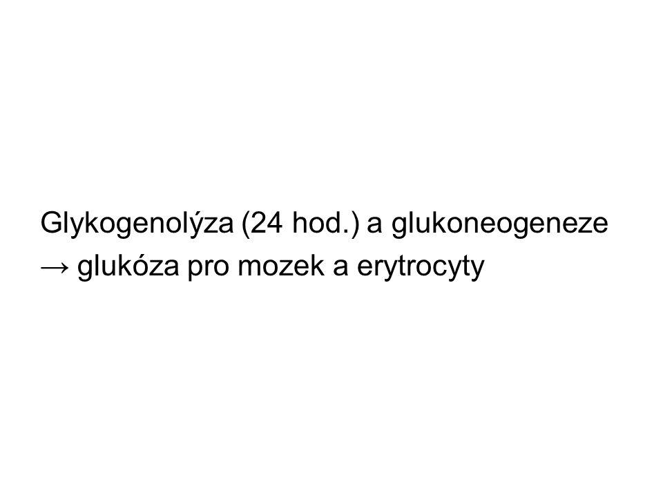 Glykogenolýza (24 hod.) a glukoneogeneze → glukóza pro mozek a erytrocyty