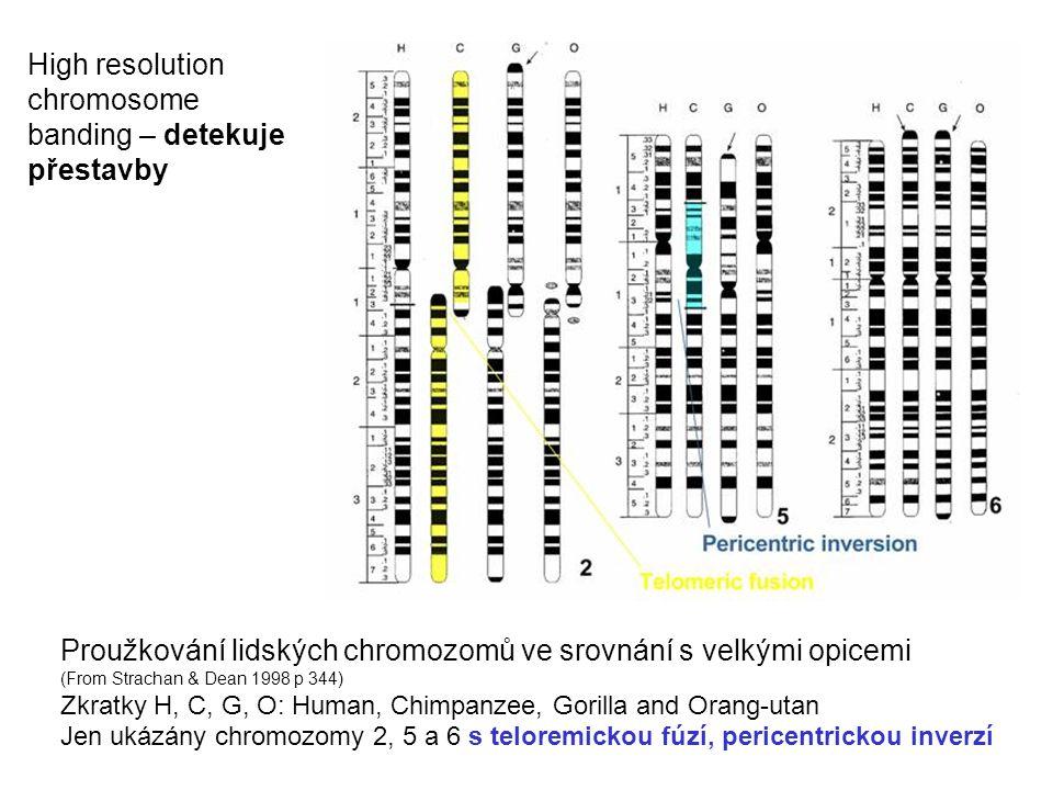 Proužkování lidských chromozomů ve srovnání s velkými opicemi (From Strachan & Dean 1998 p 344) Zkratky H, C, G, O: Human, Chimpanzee, Gorilla and Ora