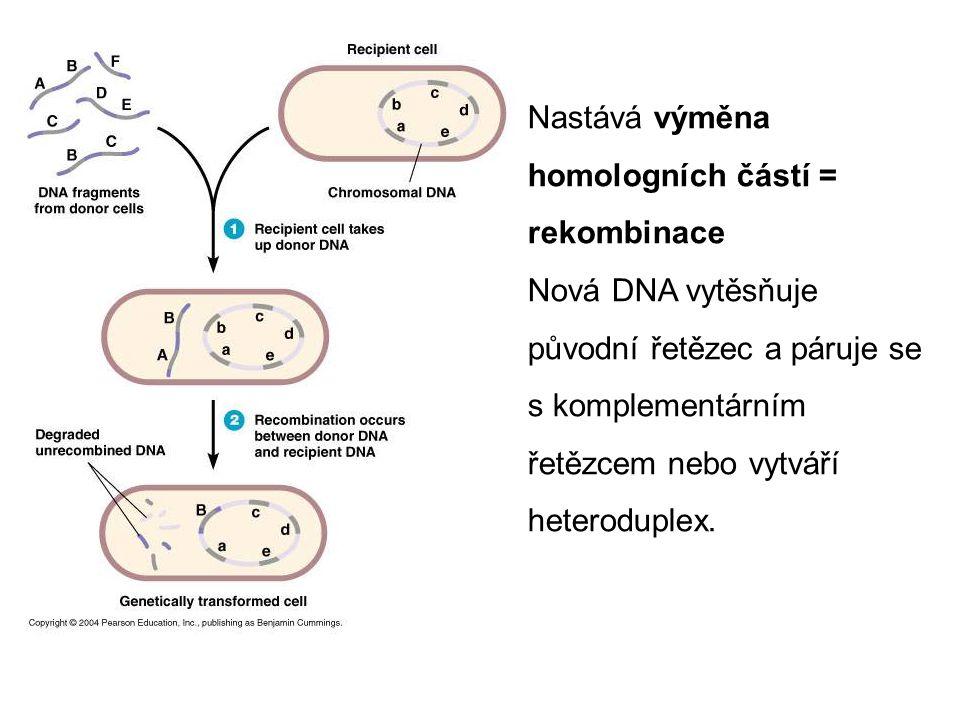 Nastává výměna homologních částí = rekombinace Nová DNA vytěsňuje původní řetězec a páruje se s komplementárním řetězcem nebo vytváří heteroduplex.