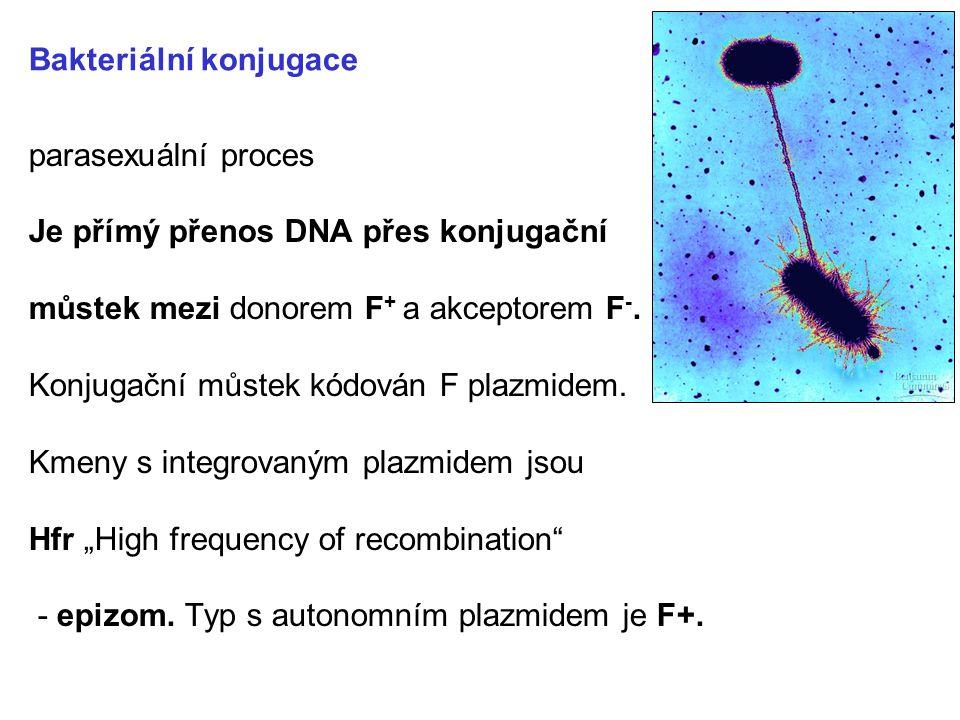 Bakteriální konjugace parasexuální proces Je přímý přenos DNA přes konjugační můstek mezi donorem F + a akceptorem F -. Konjugační můstek kódován F pl