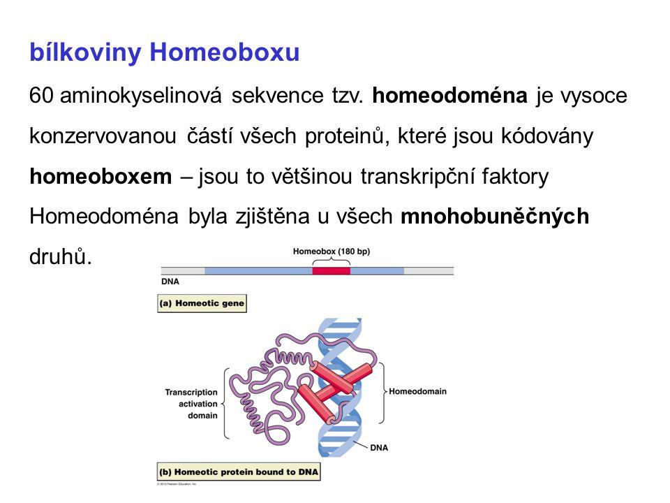 bílkoviny Homeoboxu 60 aminokyselinová sekvence tzv. homeodoména je vysoce konzervovanou částí všech proteinů, které jsou kódovány homeoboxem – jsou t