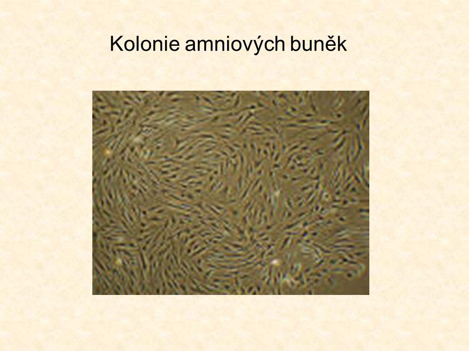 Kolonie amniových buněk