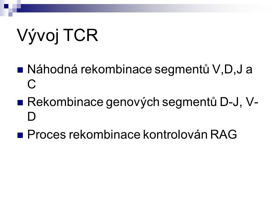 Vývoj TCR Náhodná rekombinace segmentů V,D,J a C Rekombinace genových segmentů D-J, V- D Proces rekombinace kontrolován RAG