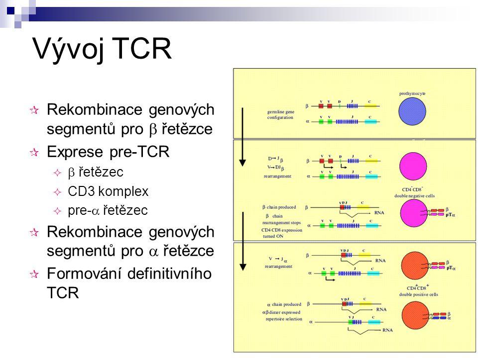 Vývoj TCR  Rekombinace genových segmentů pro  řetězce  Exprese pre-TCR   řetězec  CD3 komplex  pre-  řetězec  Rekombinace genových segmentů p