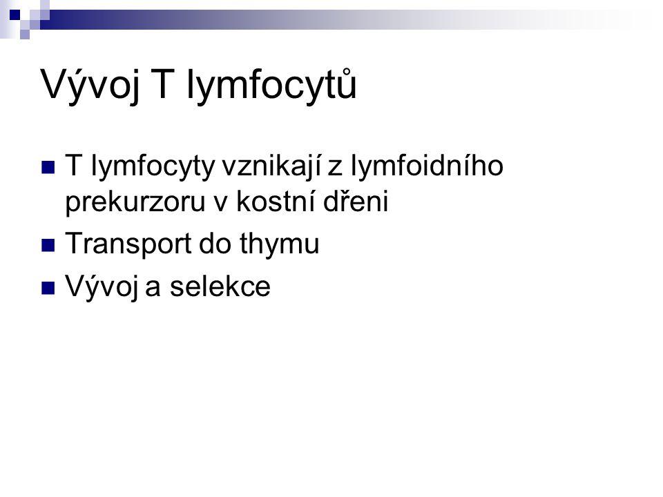 Vývoj T lymfocytů T lymfocyty vznikají z lymfoidního prekurzoru v kostní dřeni Transport do thymu Vývoj a selekce
