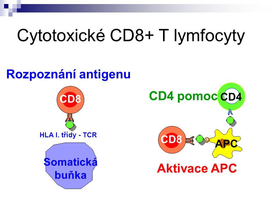 Cytotoxické CD8+ T lymfocyty CD8 APC CD4 CD4 pomoc Aktivace APC CD8 Somatická buňka Rozpoznání antigenu HLA I. třídy - TCR