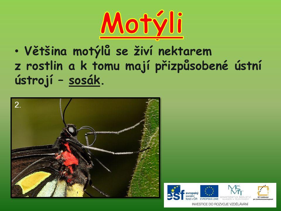 Většina motýlů se živí nektarem z rostlin a k tomu mají přizpůsobené ústní ústrojí – sosák. 2.