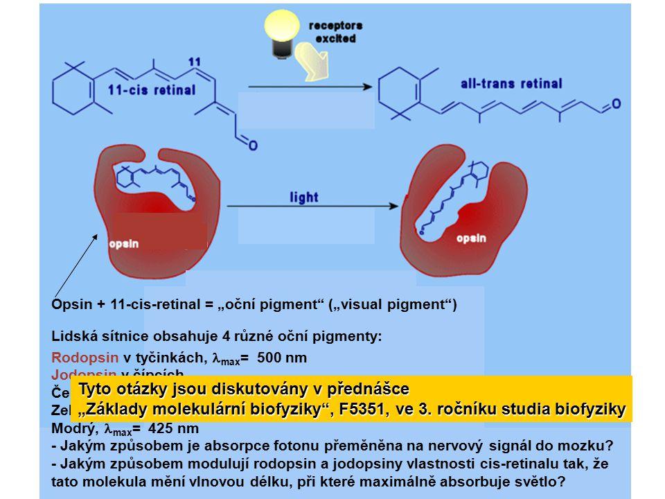 """Opsin + 11-cis-retinal = """"oční pigment"""" (""""visual pigment"""") Lidská sítnice obsahuje 4 různé oční pigmenty: Rodopsin v tyčinkách, max = 500 nm Jodopsin"""