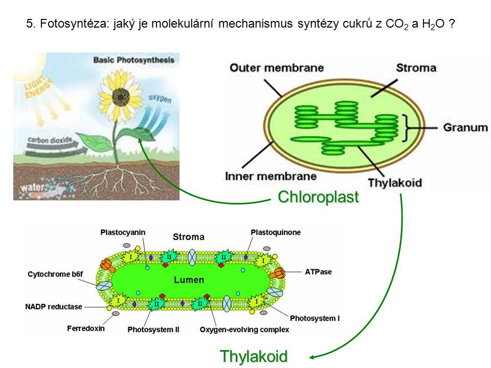 5. Fotosyntéza: jaký je molekulární mechanismus syntézy cukrů z CO 2 a H 2 O ? Chloroplast Thylakoid