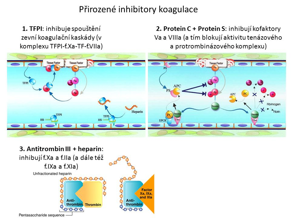 Přirozené inhibitory koagulace 2. Protein C + Protein S: inhibují kofaktory Va a VIIIa (a tím blokují aktivitu tenázového a protrombinázového komplexu