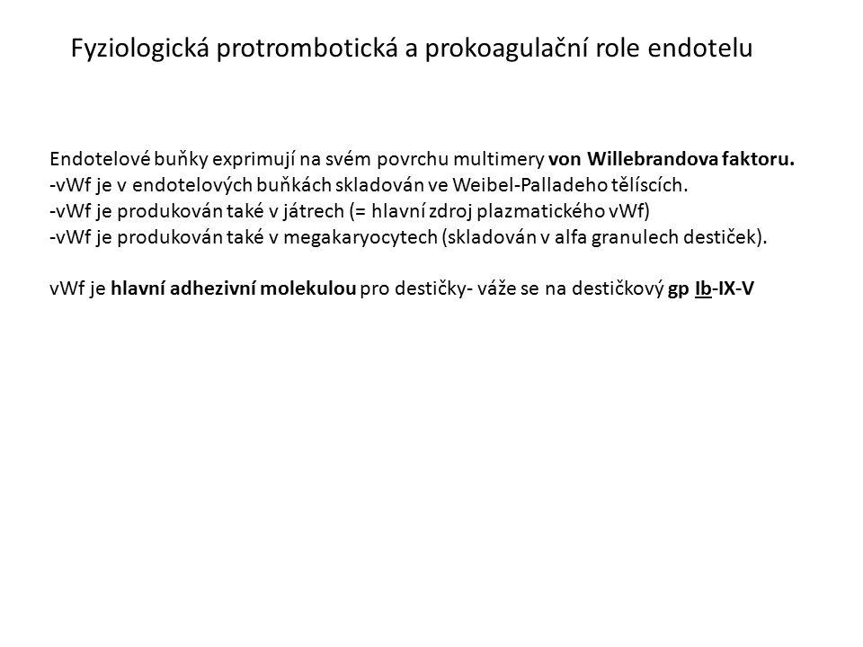Fyziologická protrombotická a prokoagulační role endotelu Endotelové buňky exprimují na svém povrchu multimery von Willebrandova faktoru. -vWf je v en
