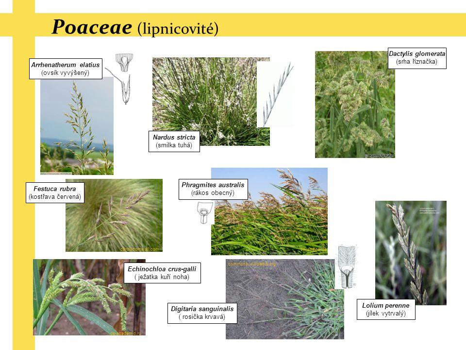 Poaceae (lipnicovité) Arrhenatherum elatius (ovsík vyvýšený) Dactylis glomerata (srha říznačka) Festuca rubra (kostřava červená) Lolium perenne (jílek