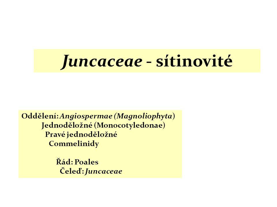 Juncaceae - sítinovité Oddělení: Angiospermae (Magnoliophyta) Jednoděložné (Monocotyledonae) Pravé jednoděložné Commelinidy Řád: Poales Čeleď: Juncace