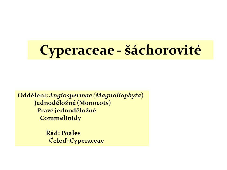 Cyperaceae - šáchorovité Oddělení: Angiospermae (Magnoliophyta) Jednoděložné (Monocots) Pravé jednoděložné Commelinidy Řád: Poales Čeleď: Cyperaceae