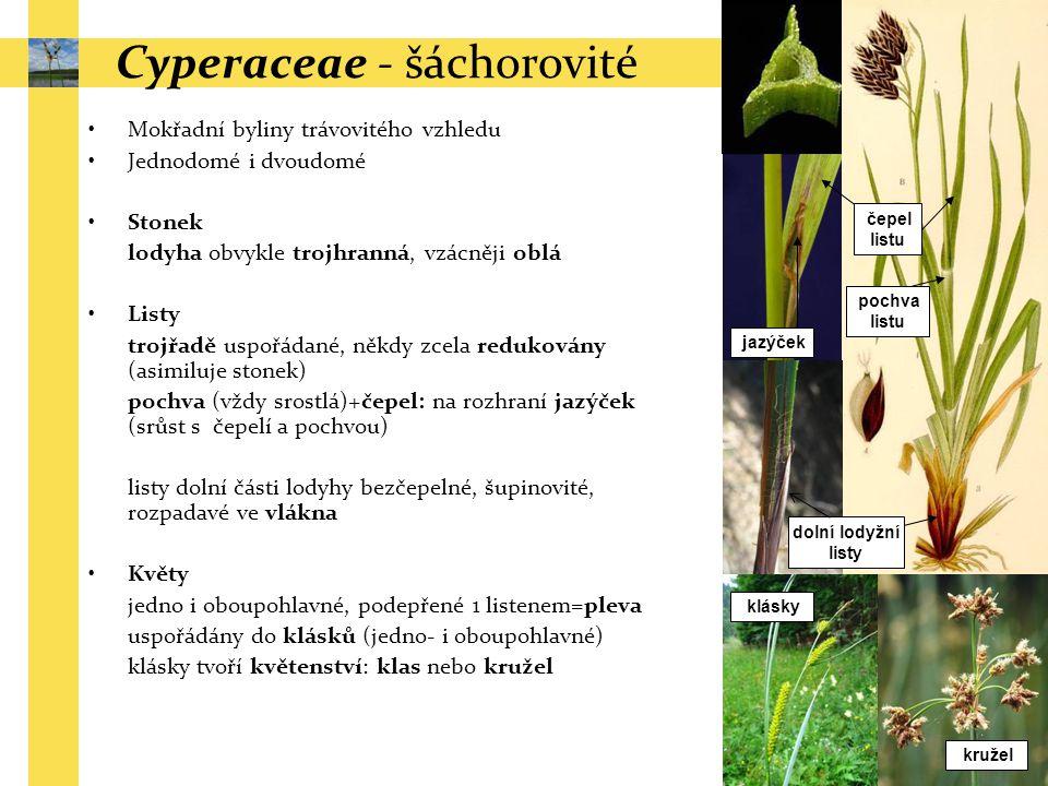 Cyperaceae - šáchorovité Mokřadní byliny trávovitého vzhledu Jednodomé i dvoudomé Stonek lodyha obvykle trojhranná, vzácněji oblá Listy trojřadě uspoř