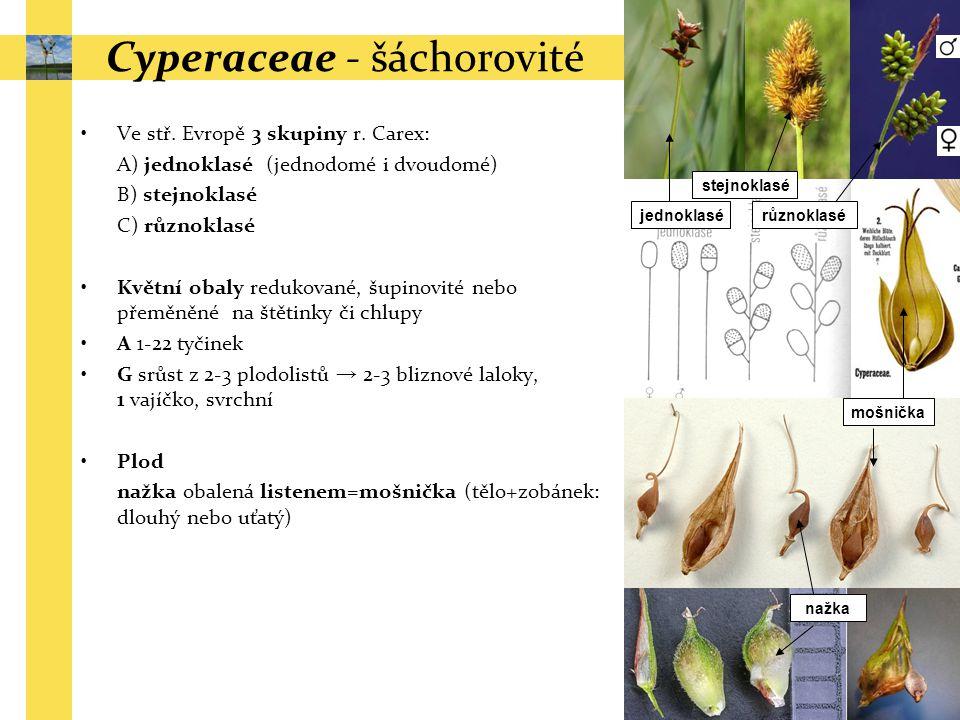 Ve stř. Evropě 3 skupiny r. Carex: A) jednoklasé (jednodomé i dvoudomé) B) stejnoklasé C) různoklasé Květní obaly redukované, šupinovité nebo přeměněn