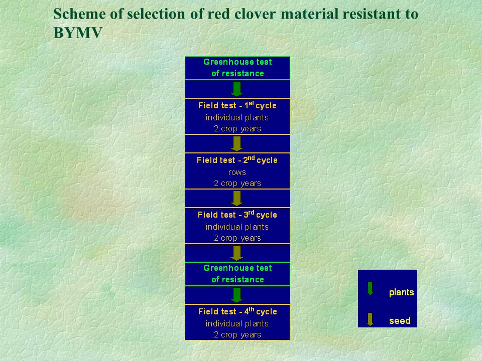 Scheme of selection of red clover material resistant to BYMV