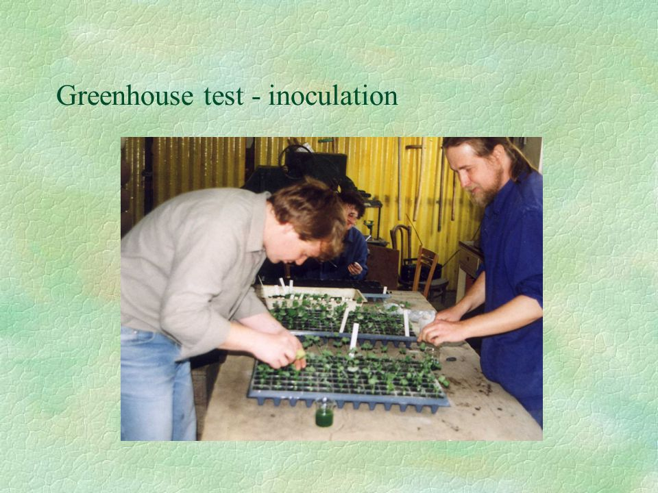 Greenhouse test - inoculation