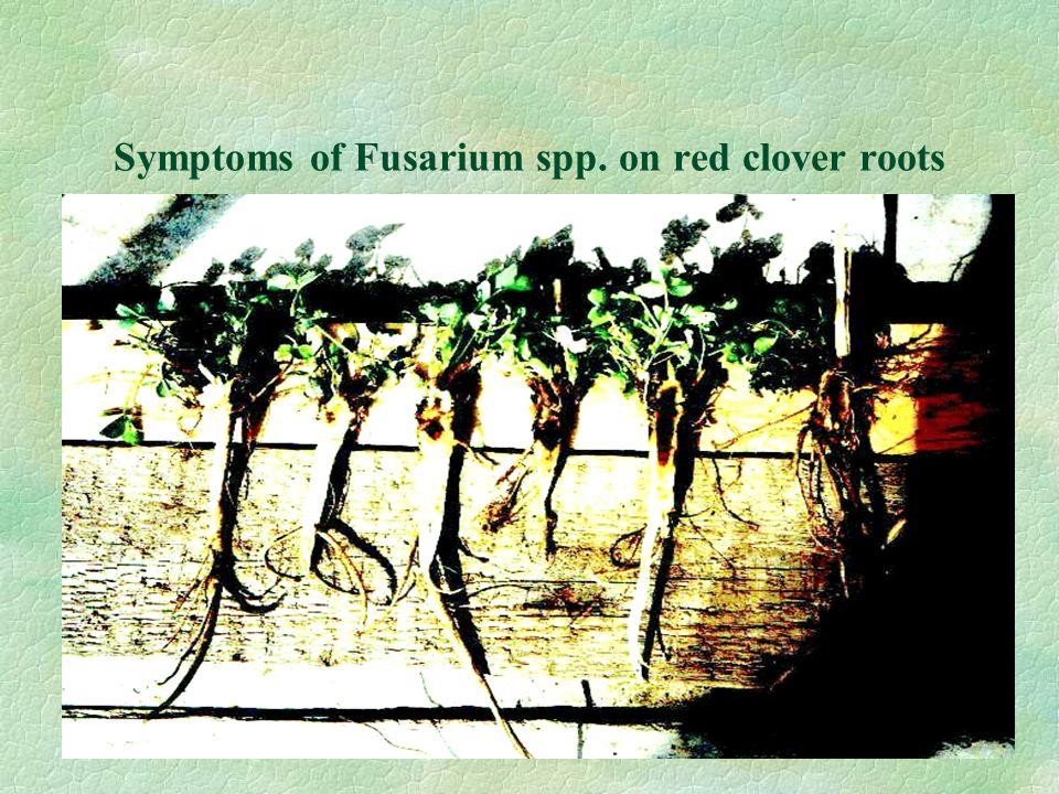 Symptoms of Fusarium spp. on red clover roots