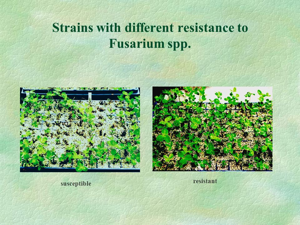 Strains with different resistance to Fusarium spp. susceptible resistant