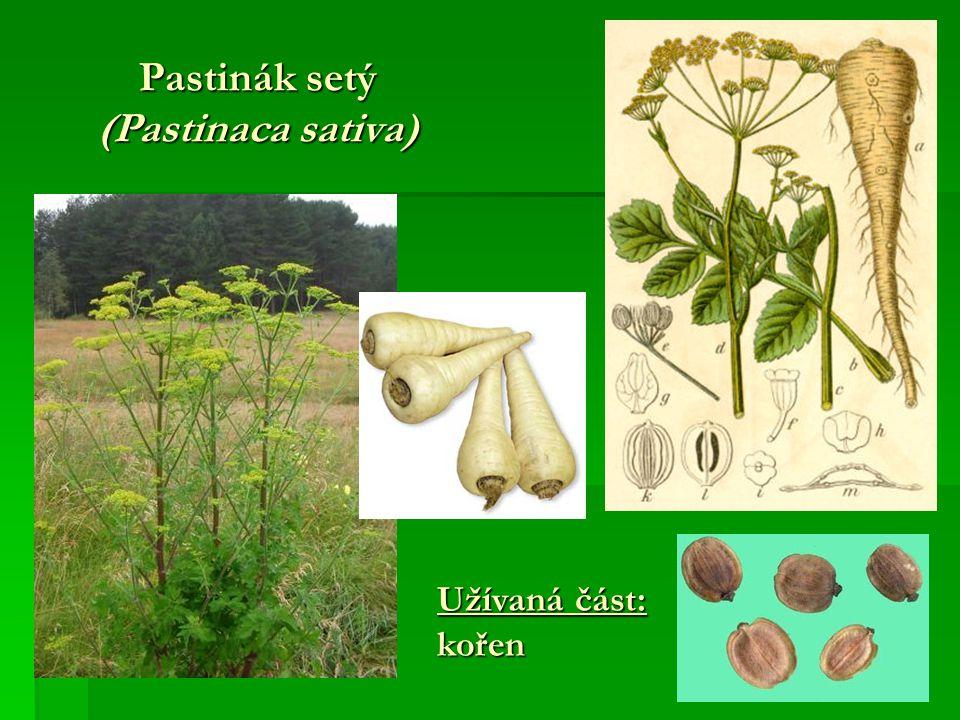 Pastinák setý (Pastinaca sativa) Užívaná část: kořen