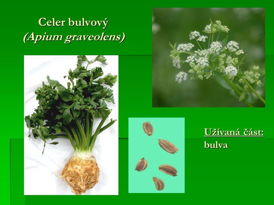 Celer bulvový (Apium graveolens) Užívaná část: bulva