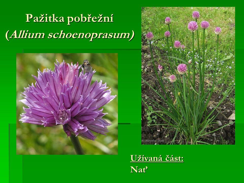 Pažitka pobřežní (Allium schoenoprasum) Užívaná část: Nať