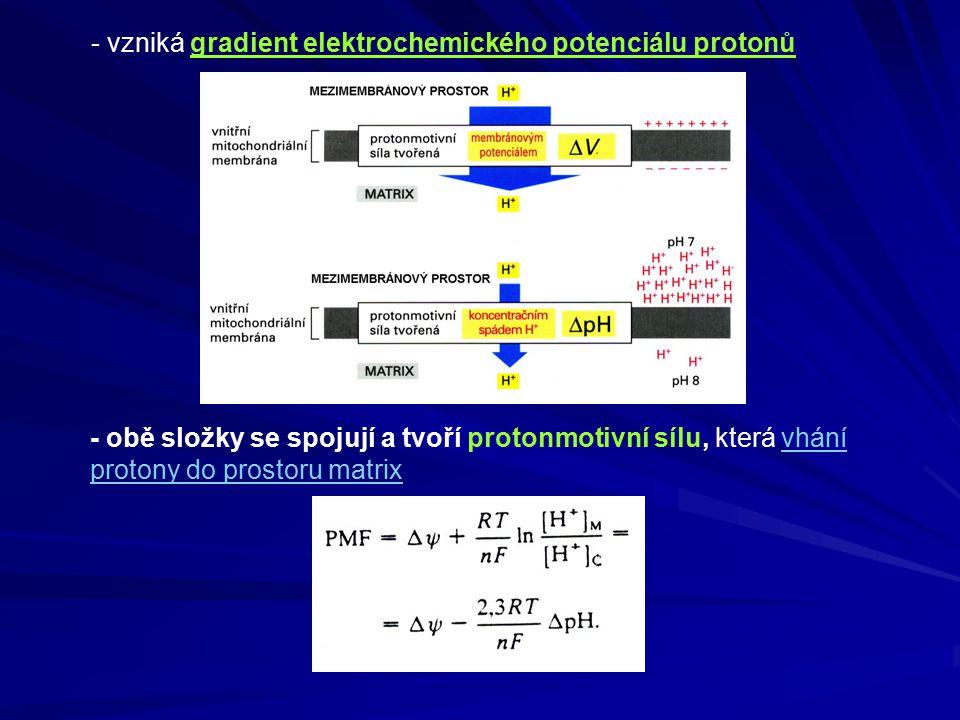 - vzniká gradient elektrochemického potenciálu protonů - obě složky se spojují a tvoří protonmotivní sílu, která vhání protony do prostoru matrix
