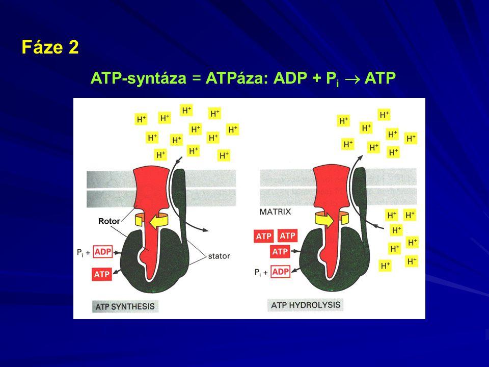 ATP-syntáza = ATPáza: ADP + P i  ATP Fáze 2