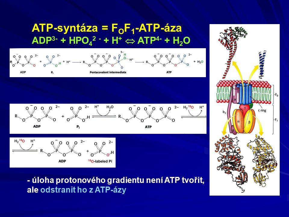 ATP-syntáza = F O F 1 -ATP-áza ADP 3- + HPO 4 2 - + H +  ATP 4- + H 2 O - úloha protonového gradientu není ATP tvořit, ale odstranit ho z ATP-ázy