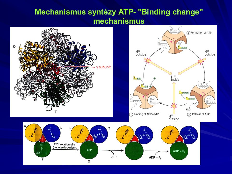 Mechanismus syntézy ATP- Binding change mechanismus
