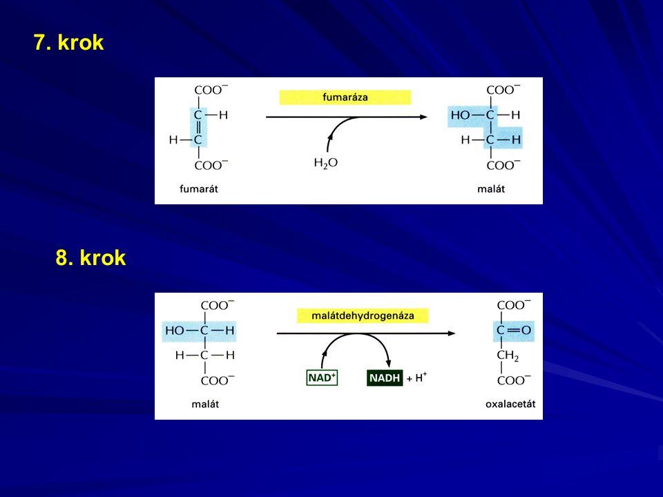 RESPIRAČNÍ ŘETĚZEC A OXIDATIVNÍ FOSFORYLACE ZÍSKÁVÁNÍ ENERGIE V MITOCHONDRIÍCH - způsob získávání energie a syntézy ATP v mitochondriích je založen na transportu redukčních ekvivalentů (elektronů) proteinovými komplexy ve vnitřní mitochondriální membráně
