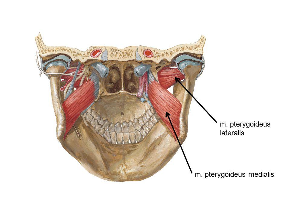m. pterygoideus lateralis m. pterygoideus medialis