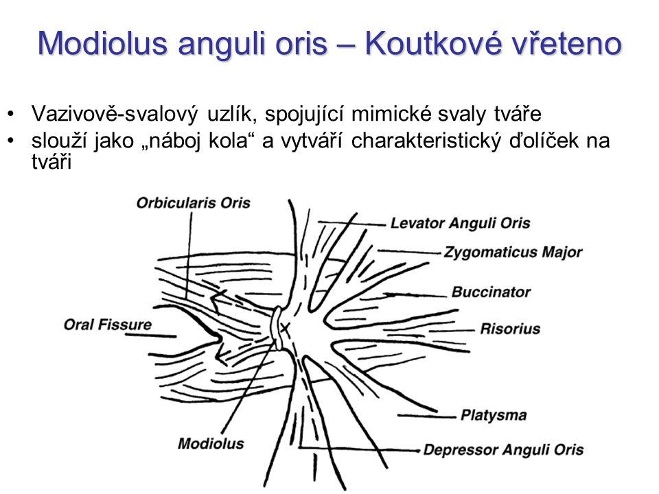 """Modiolus anguli oris – Koutkové vřeteno Vazivově-svalový uzlík, spojující mimické svaly tváře slouží jako """"náboj kola"""" a vytváří charakteristický ďolí"""