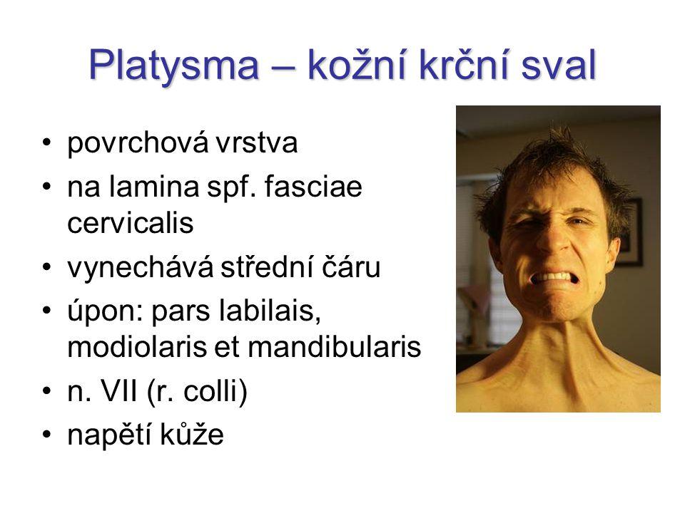 Platysma – kožní krční sval povrchová vrstva na lamina spf. fasciae cervicalis vynechává střední čáru úpon: pars labilais, modiolaris et mandibularis