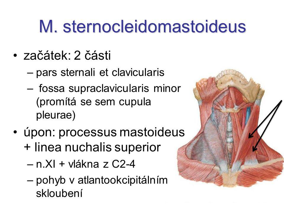 M. sternocleidomastoideus začátek: 2 části –pars sternali et clavicularis – fossa supraclavicularis minor (promítá se sem cupula pleurae) úpon: proces