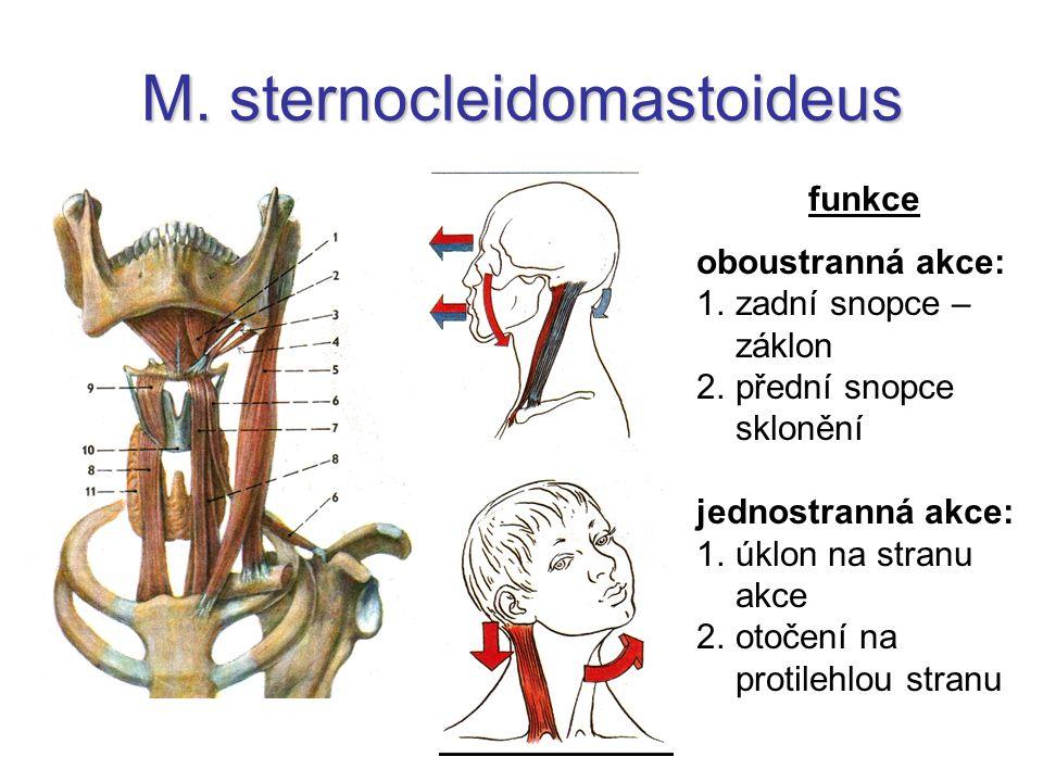 M. sternocleidomastoideus funkce oboustranná akce: 1.zadní snopce – záklon 2.přední snopce sklonění jednostranná akce: 1.úklon na stranu akce 2.otočen