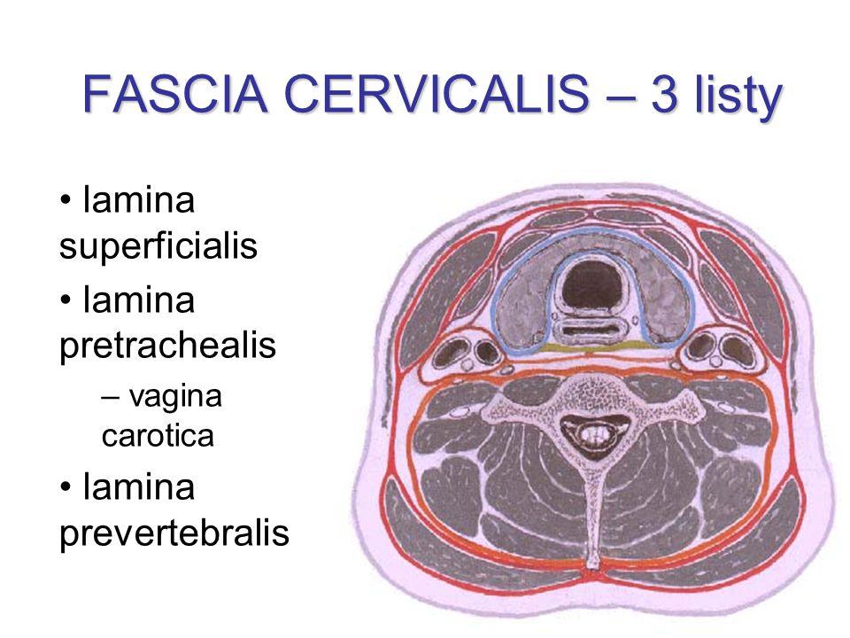 FASCIA CERVICALIS – 3 listy lamina superficialis lamina pretrachealis – vagina carotica lamina prevertebralis