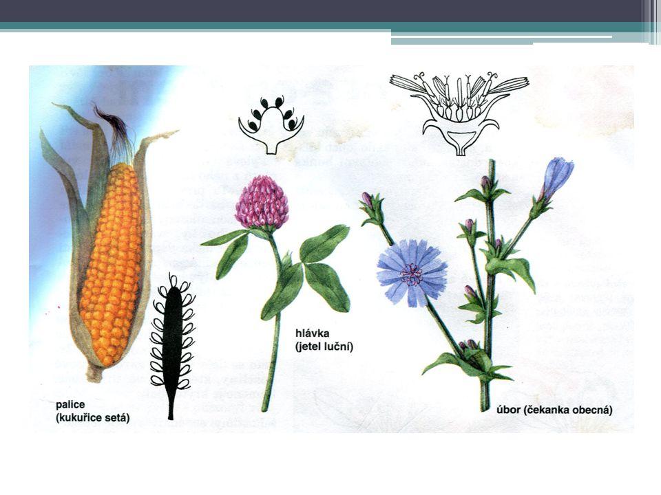 GENERATIVNÍ ORGÁNY - plod Složen ze semene a oplodí Oplodí vzniká srůstem buněk semeníku Plody dělíme ▫Dužnaté ▫Suché