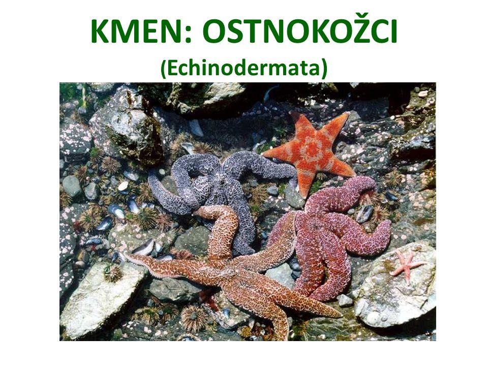 KMEN: OSTNOKOŽCI ( Echinodermata)