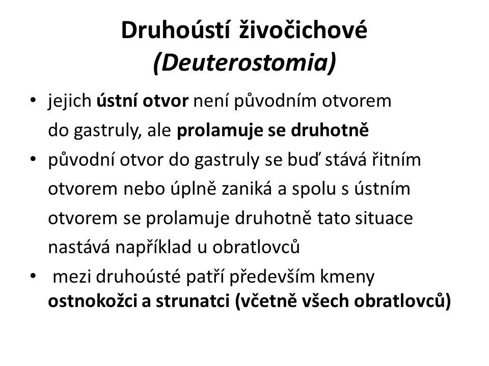 Druhoústí živočichové (Deuterostomia) jejich ústní otvor není původním otvorem do gastruly, ale prolamuje se druhotně původní otvor do gastruly se buď