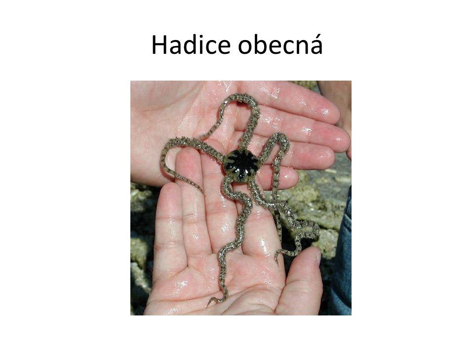 Hadice obecná