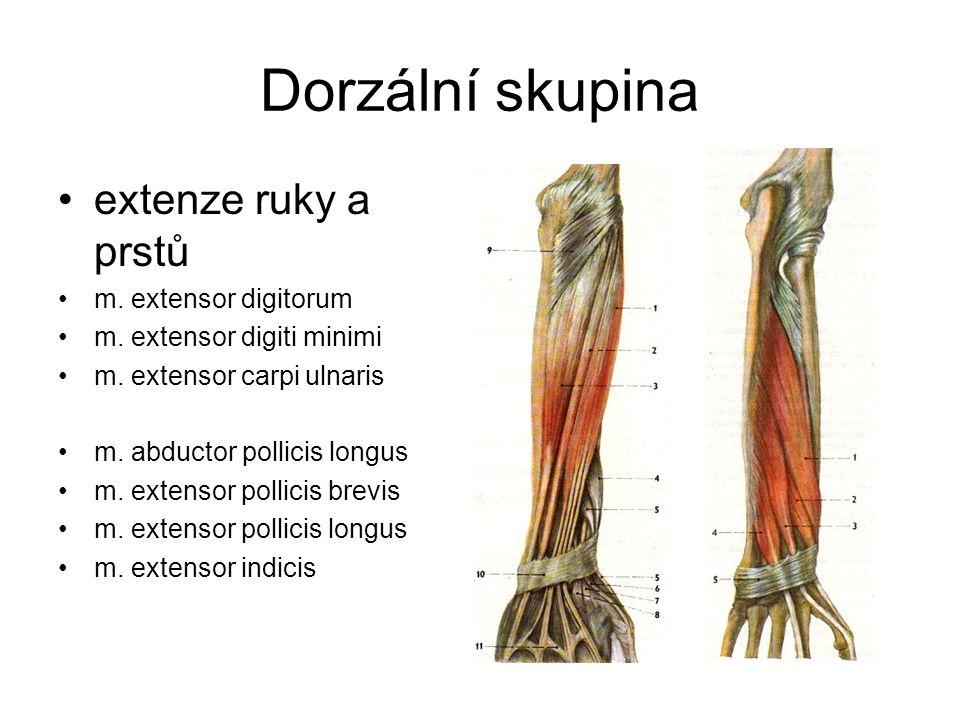 Dorzální skupina extenze ruky a prstů m. extensor digitorum m. extensor digiti minimi m. extensor carpi ulnaris m. abductor pollicis longus m. extenso
