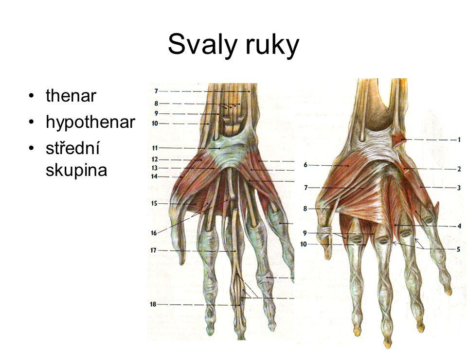 Svaly ruky thenar hypothenar střední skupina