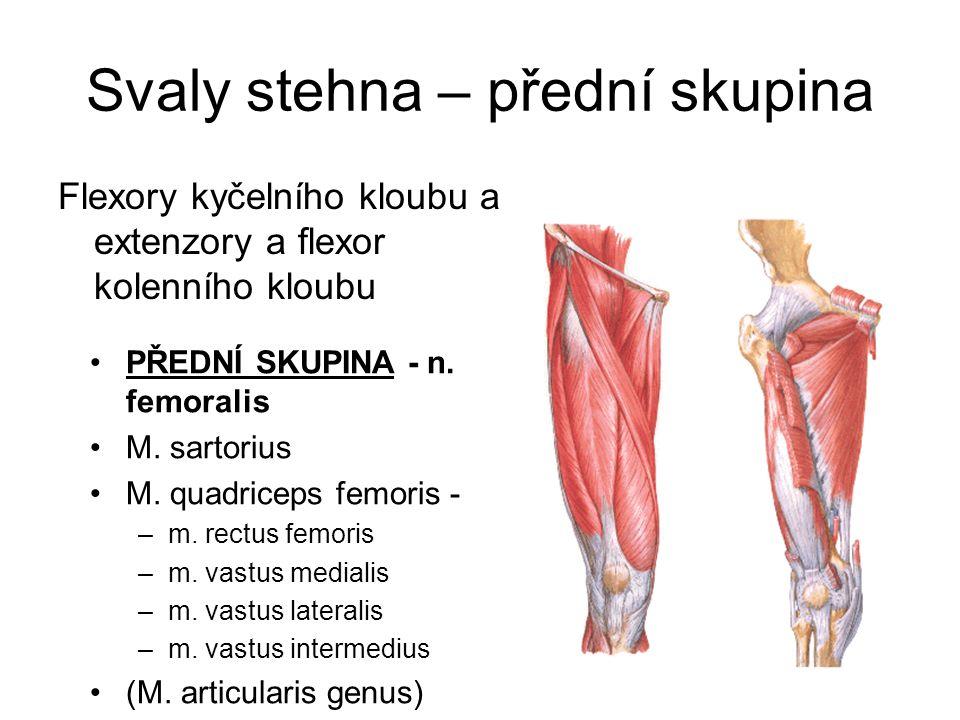 Svaly stehna – přední skupina Flexory kyčelního kloubu a extenzory a flexor kolenního kloubu PŘEDNÍ SKUPINA - n. femoralis M. sartorius M. quadriceps
