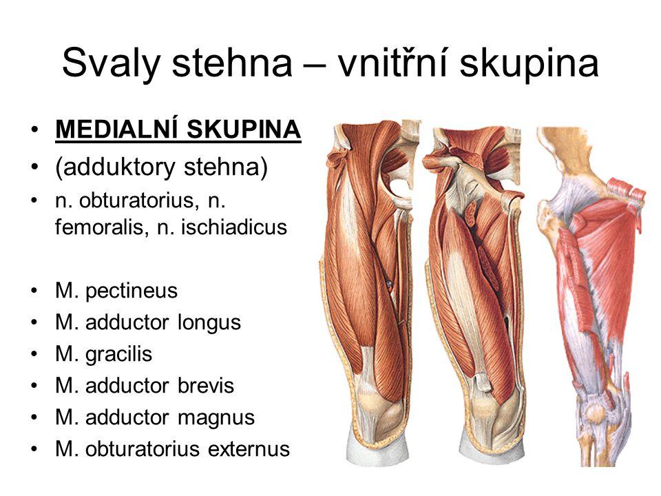 Svaly stehna – vnitřní skupina MEDIALNÍ SKUPINA (adduktory stehna) n. obturatorius, n. femoralis, n. ischiadicus M. pectineus M. adductor longus M. gr