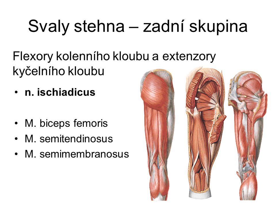 Svaly stehna – zadní skupina Flexory kolenního kloubu a extenzory kyčelního kloubu n. ischiadicus M. biceps femoris M. semitendinosus M. semimembranos