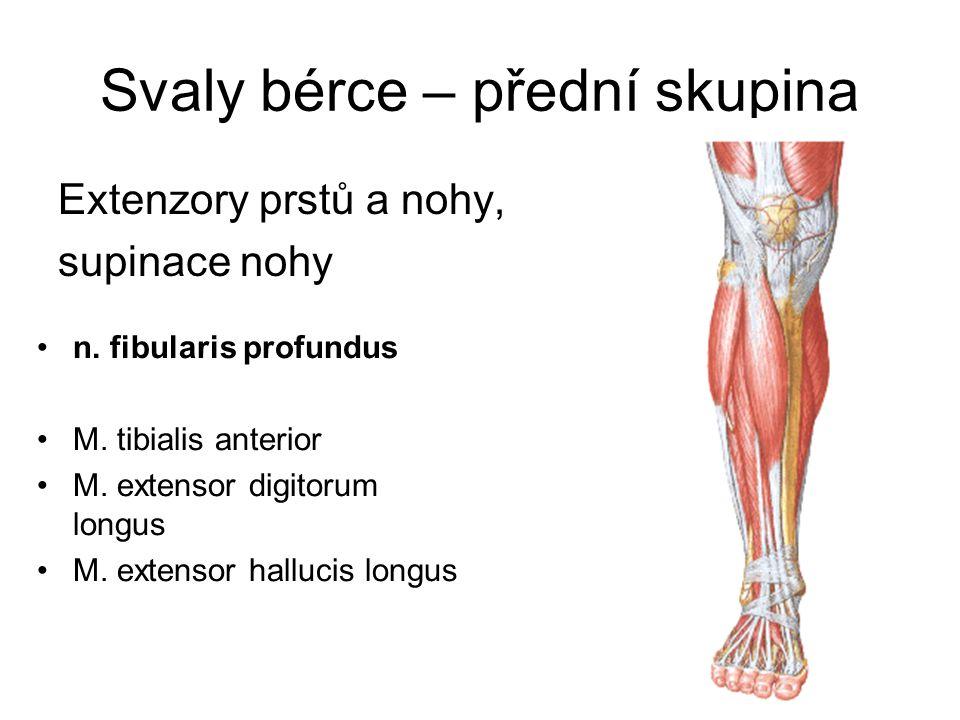 Svaly bérce – přední skupina Extenzory prstů a nohy, supinace nohy n. fibularis profundus M. tibialis anterior M. extensor digitorum longus M. extenso