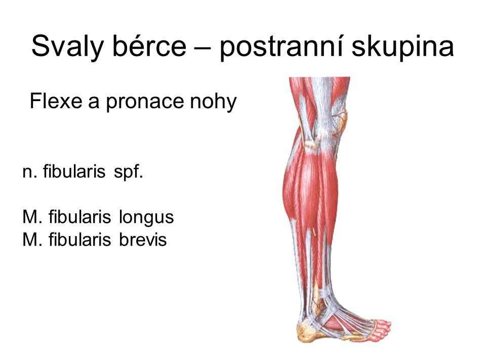 Svaly bérce – postranní skupina Flexe a pronace nohy n. fibularis spf. M. fibularis longus M. fibularis brevis