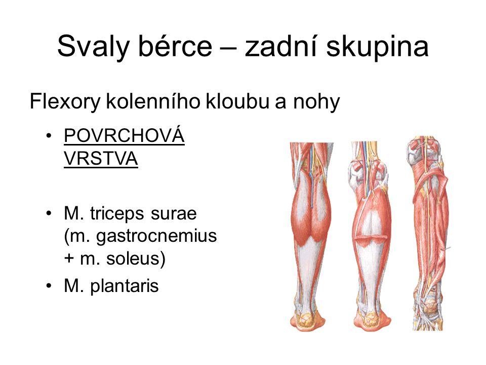 Svaly bérce – zadní skupina Flexory kolenního kloubu a nohy POVRCHOVÁ VRSTVA M. triceps surae (m. gastrocnemius + m. soleus) M. plantaris